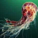 12 невероятных фото медуз